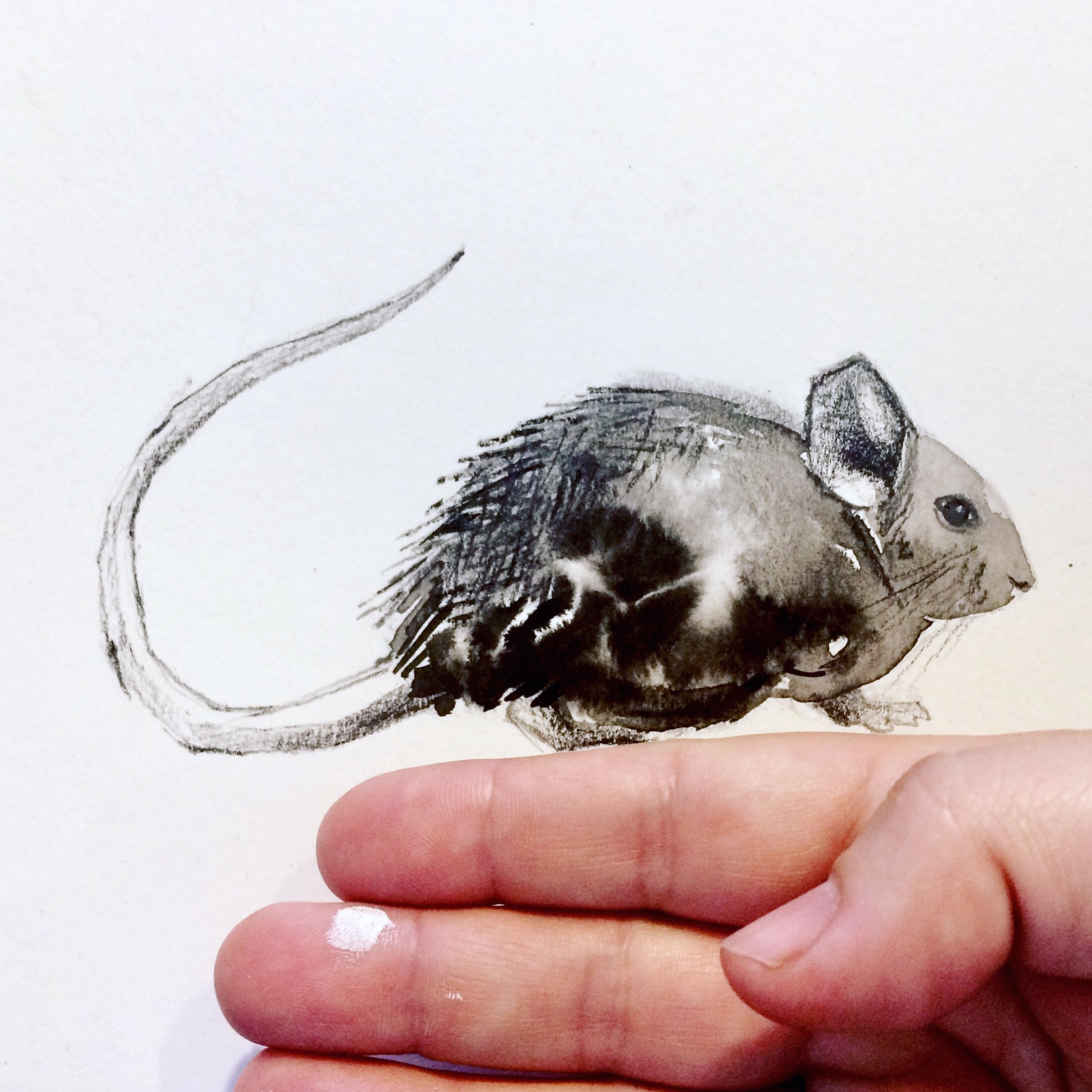 Bolivian Chinchilla Rate sketch by Crystal Smith